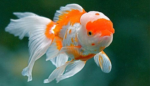 The fancy goldfish principle for The fancy fish